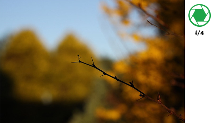 A tree branch in focus with blurry background of autumn trees taken with f/4 aperture