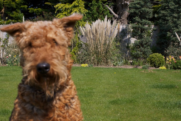 A picture of a Schnauzer in a green garden with the plants in the background being in focus