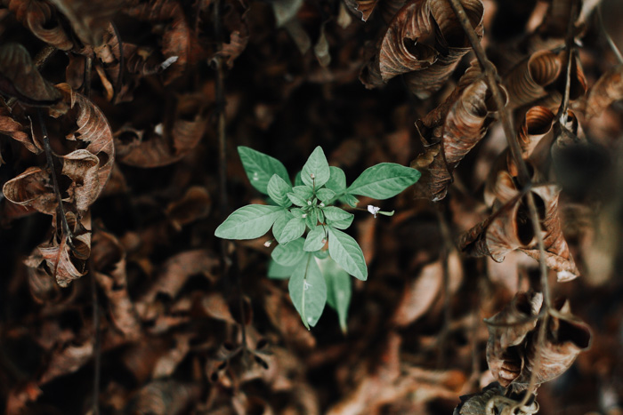 Overhead image of a perfectly exposed green plant amongst brown leaves