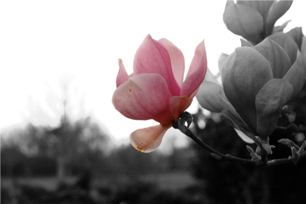 Ethereal close up of a pink petaled rose, with the rest of the photo in black and white