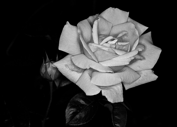 bw rose2 Black & White – 30 Day Photography Challenge Tips