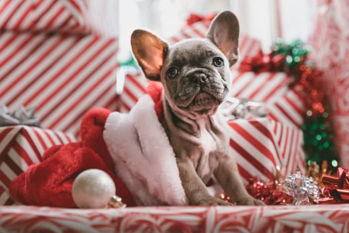 A puppy in Christmas outfit