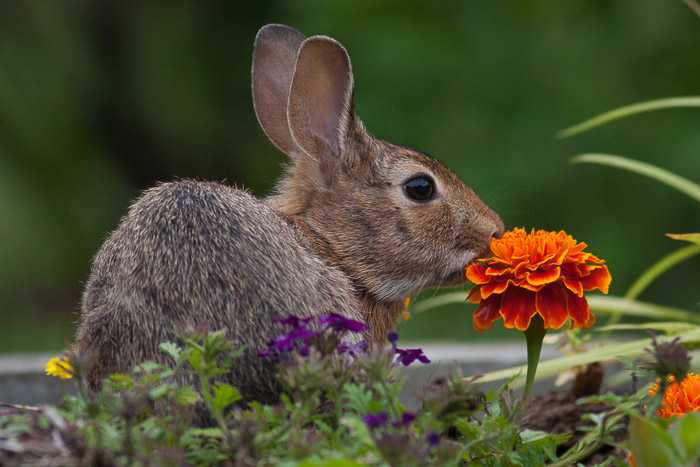 A wildlife photography portrait of a rabbit siting among flowers
