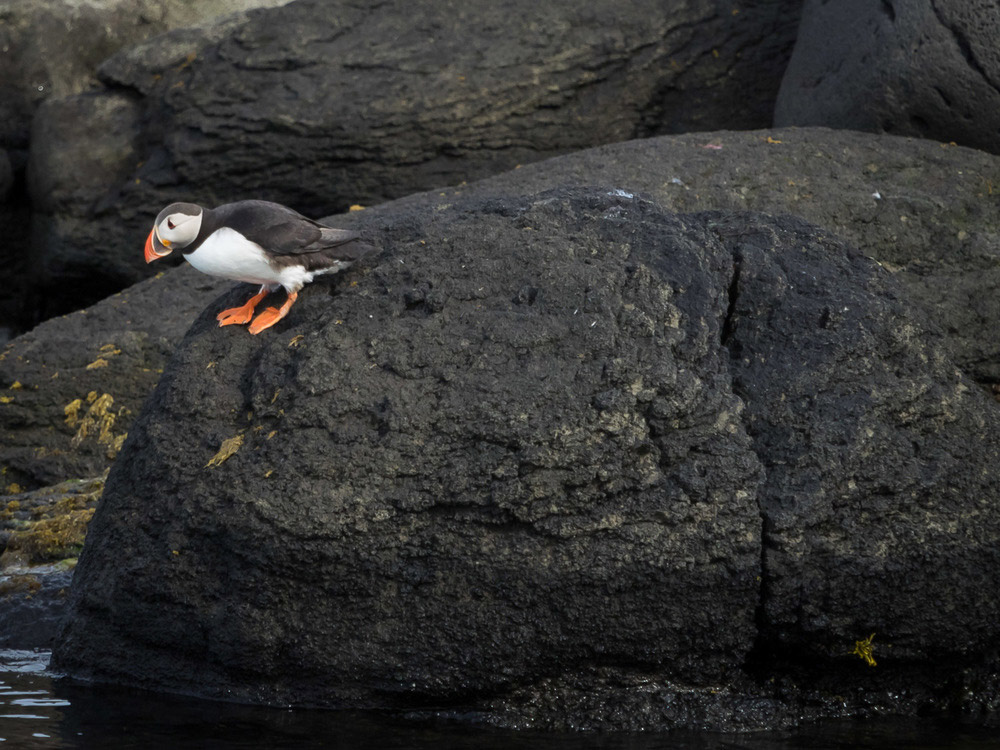 A photo of a puffin standing on a black rock looking down into the water. Professional Photography.