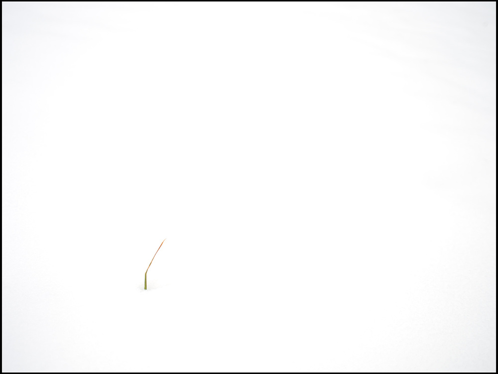 a single blade of grass against a white background symbolizing measuring your growth as a professional photographer