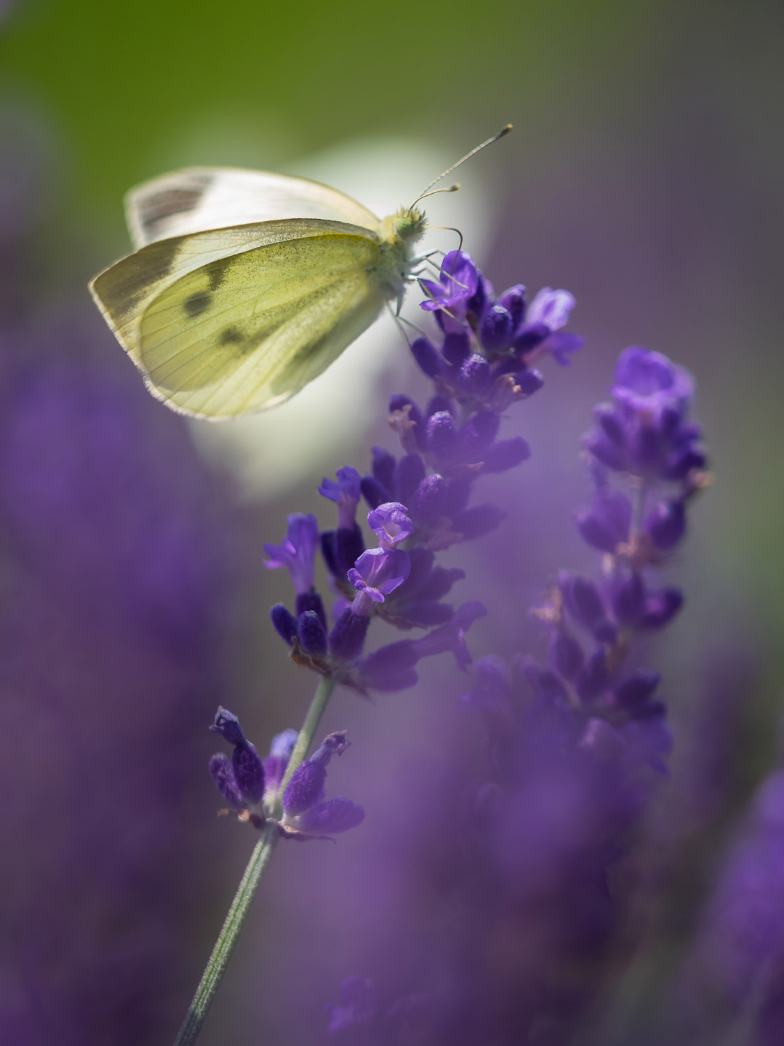A green butterfly on a lavender