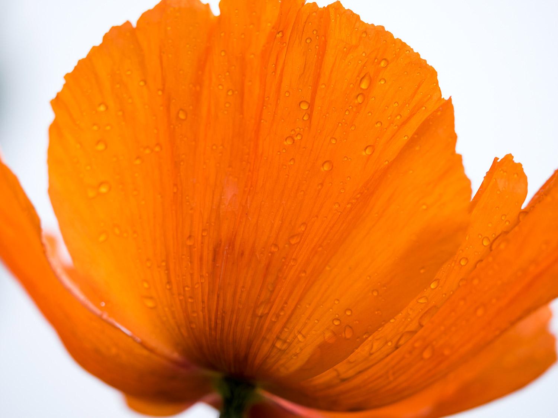 Orange poppy flower with rain drops on its petals