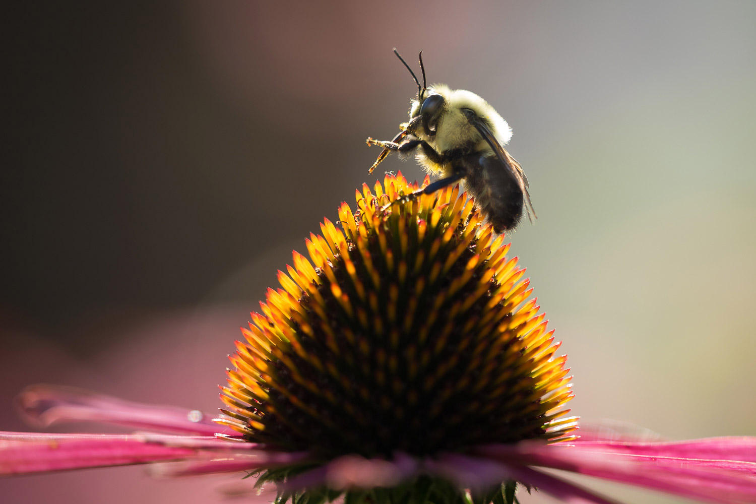 A bee on the stigma of a pink flower