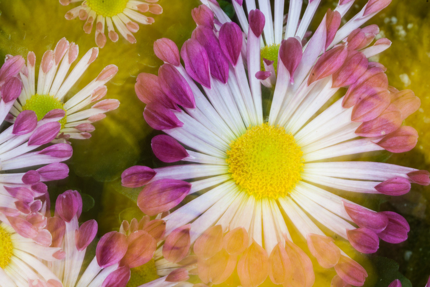 A white flower whose petals end in pink