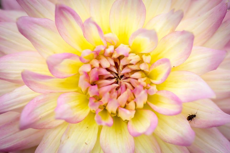 Closeup of a pink-yellow flower