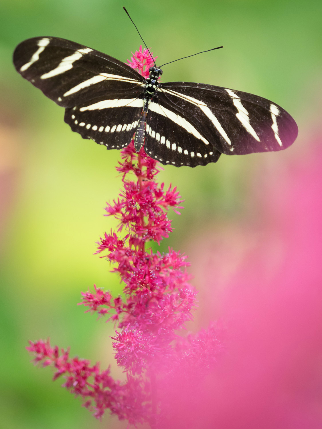 A black and white stripped butterfly on a pink flower
