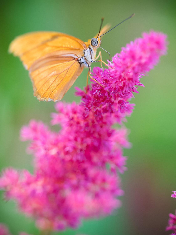 An orange butterfly on a pink flower