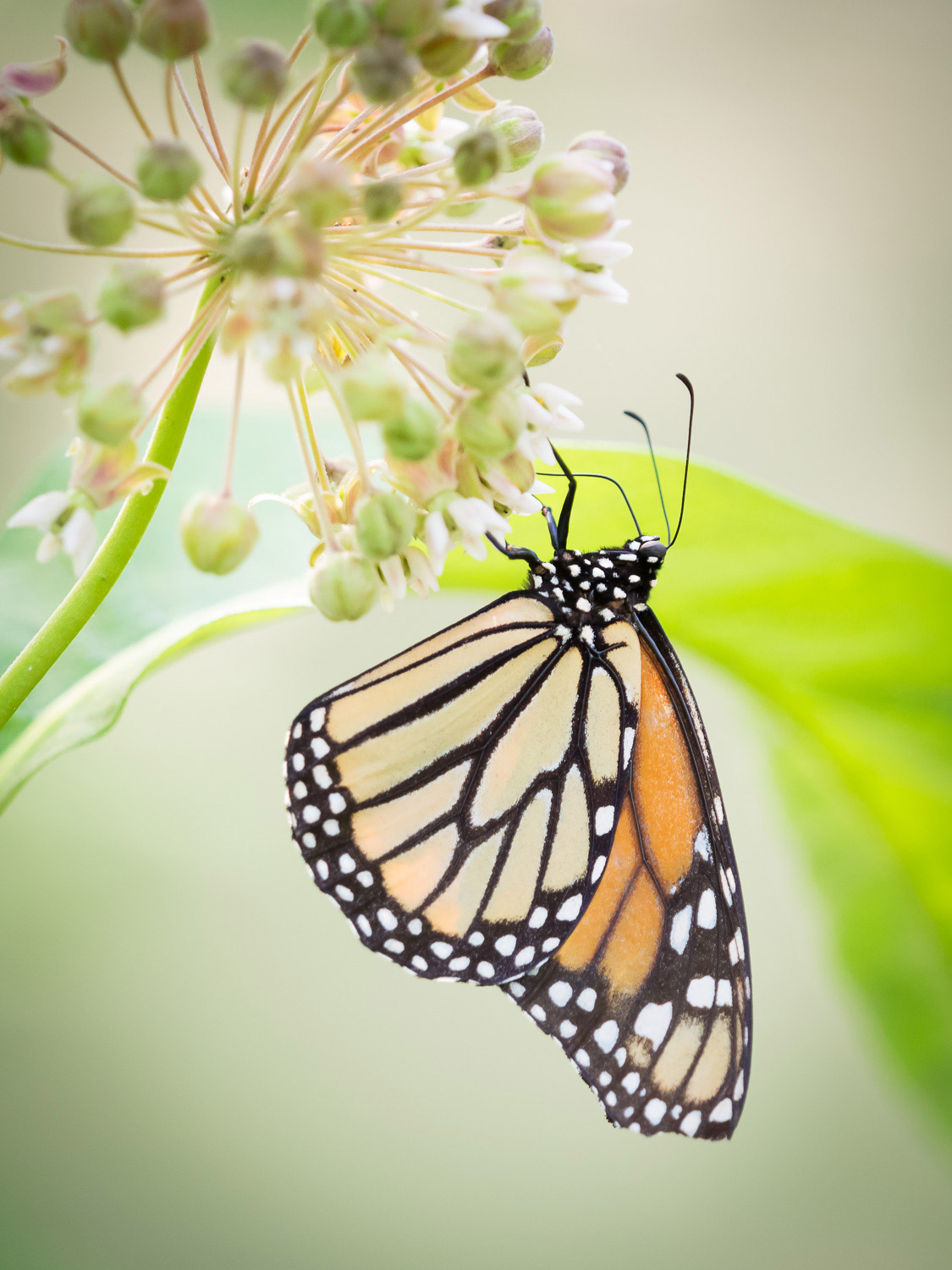 An orange spotted butterfly on a flower with smaller white blossoms