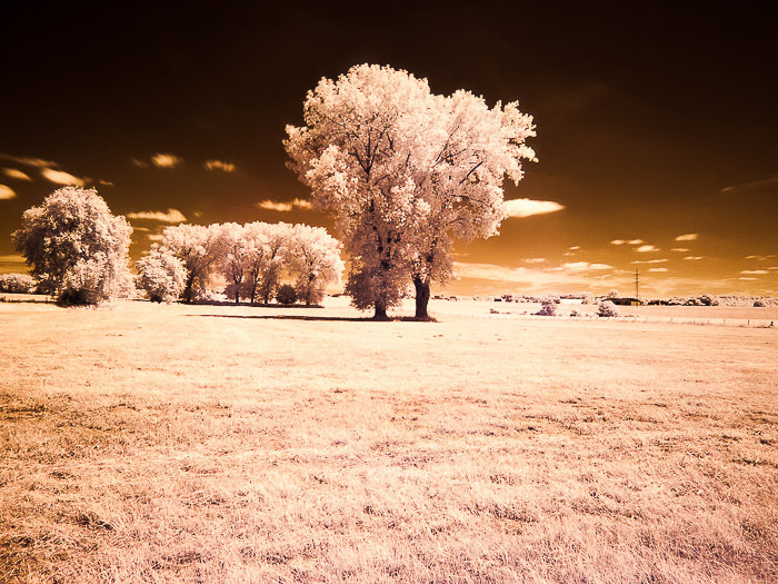 Lonely trees in the Belgian countryside. shot in infrared photography