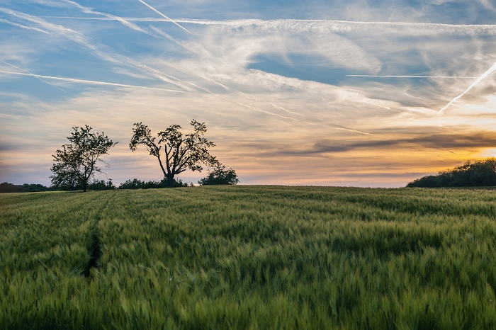 A luscious green field at sunset shot with a 50mm lens