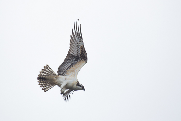 <em>'High Key' shots with a bright, white background, require setting your camera to overexpose the sky, to bring out detail in the bird. (1/640, f/8, ISO 400, 400mm)</em>