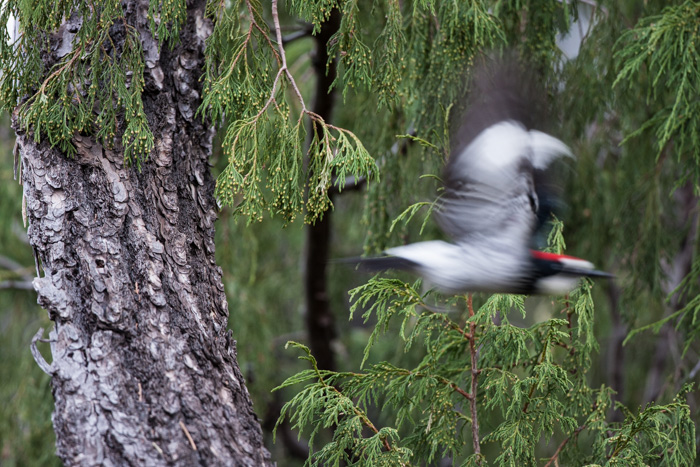 Wildlife shot of a red-headed bird in flight with motion blur