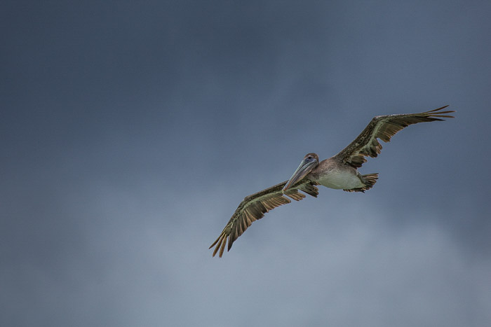 A large pelican bird in flight
