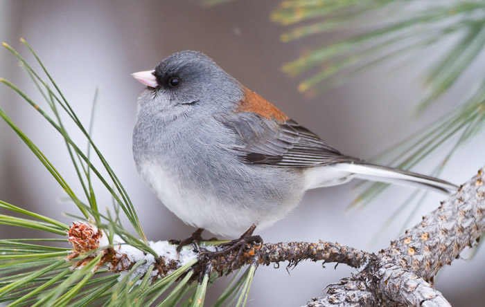 A small grey and orange bird sitting on coniferous branch
