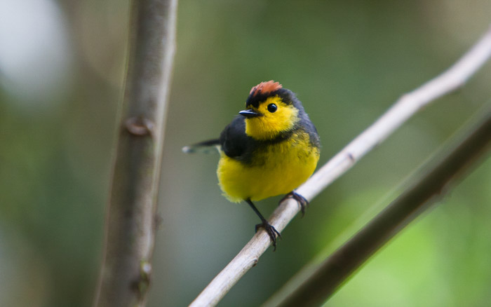 A small yellow and black bird sitting on branch