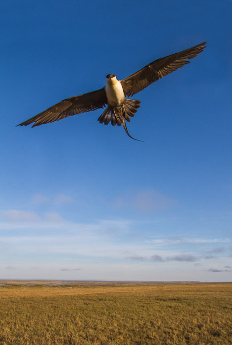 Great bird shot of a hawk soaring over the plain with blue background