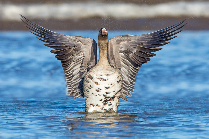 A cool bird portrait of a large duck in water spreading its wings