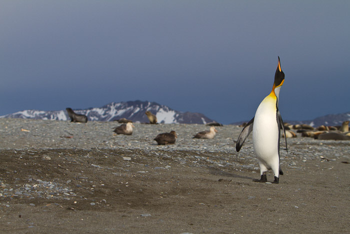 penguin in habitat with other animals in background