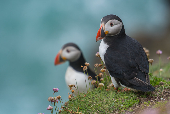 Two puffins perched on coastal rocks