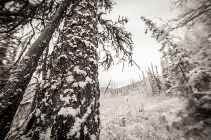 Forest photography of snow covered trees in black and white