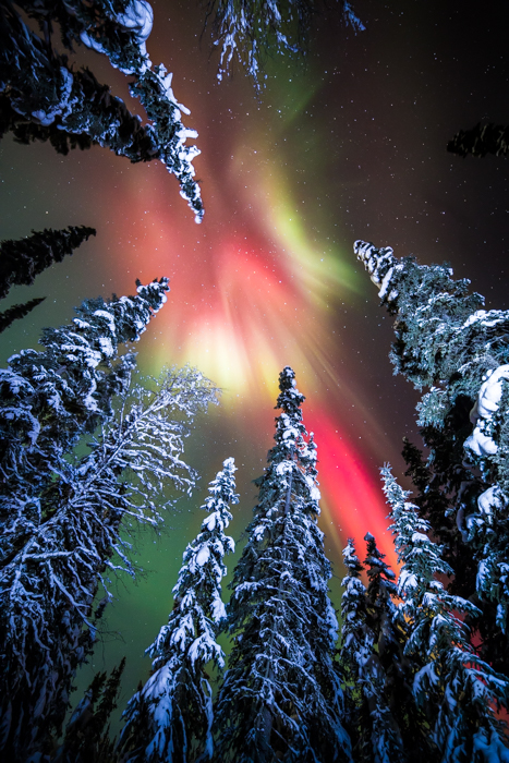 Forest photography of the Aurora Borealis seen from the ground during winter