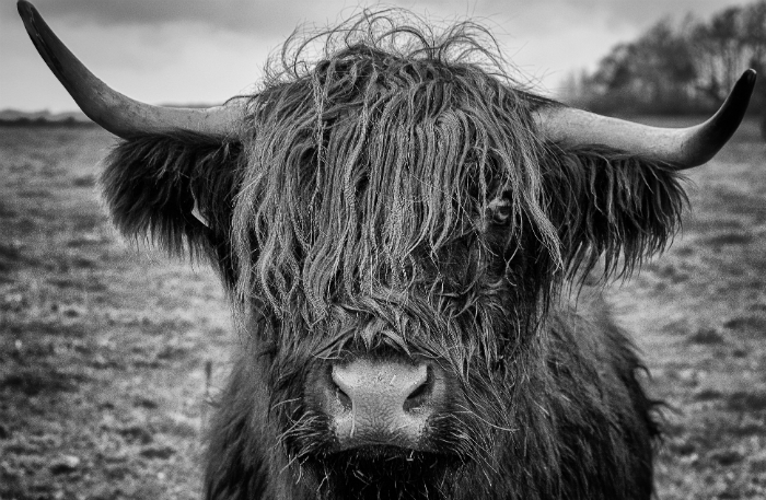 Black and white photo of Scottish Highland bull showing fur texture