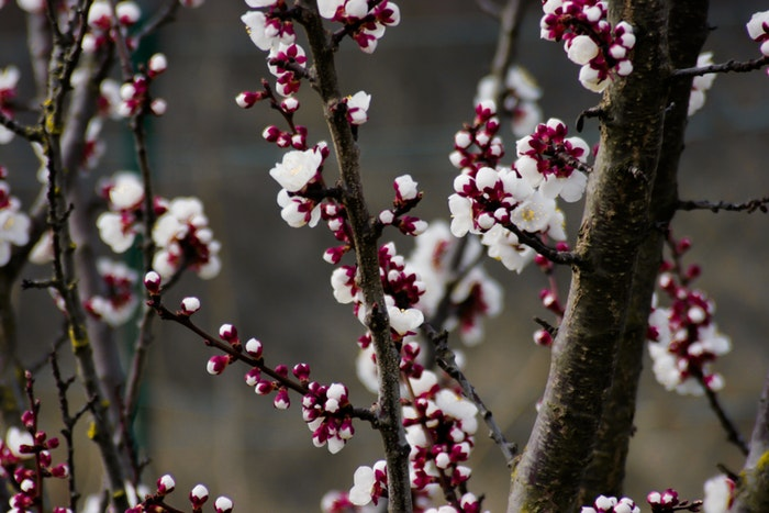 Close up of blossoms on a tree branch