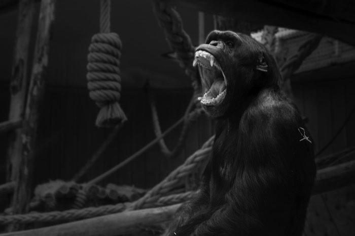 Blur the background in Lightroom: Final version of gorilla at zoo image, edited in Lightroom