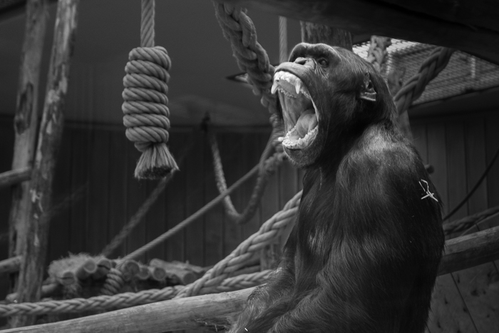Blur the background in Lightroom: Black and white image of gorilla with distracting background