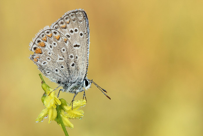 Blue butterfly perched on plant. Side View. Macro Photography example.