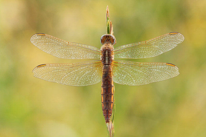 Dragonfly perched on wheat. Top View. Macro Photography example.