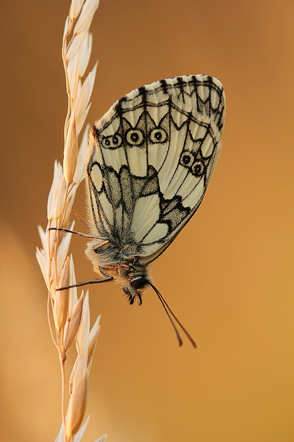 Green butterfly sitting vertically on wheat stem. Macro Photography example.