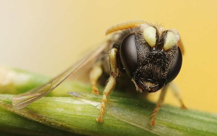 Front view of a wasp taken in early morning.