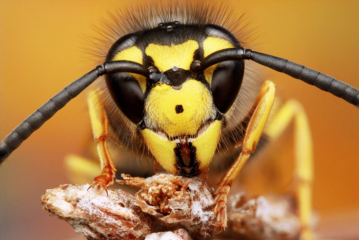 A close-up of a wasp's head and antennae taken with a macro lens.