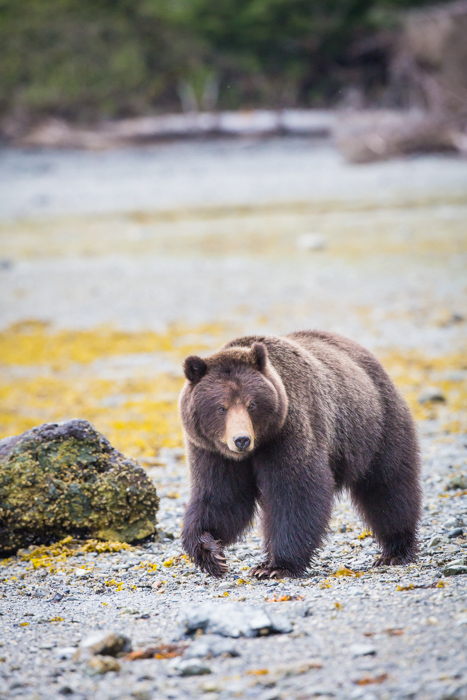 A bear prowling in Alaska during the Spring