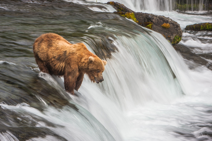 A bear in a soft-water river, fishing for salmon