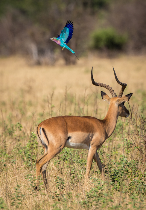 Gazelle and blue bird in Botswana