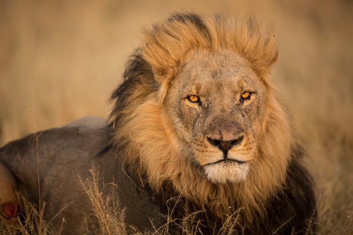 Close-up of a lion's eyes, reclining in Botswana