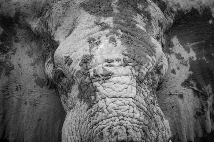 Extreme closeup of an elephant in Botswana