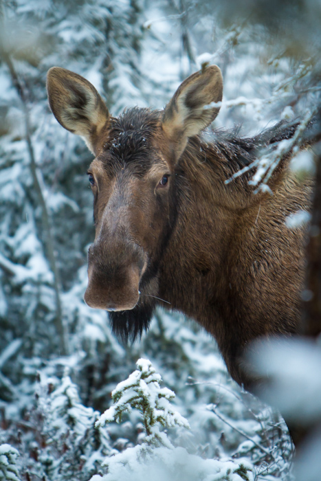 Portrait of a young moose calf in Alaska