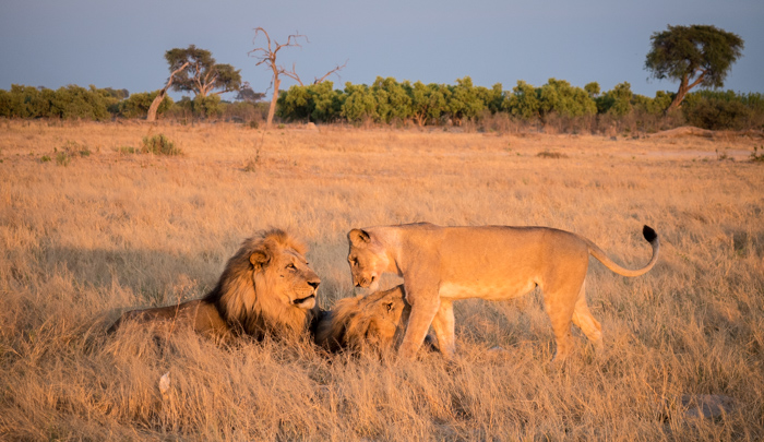 A pride of lions interacting in Botswana