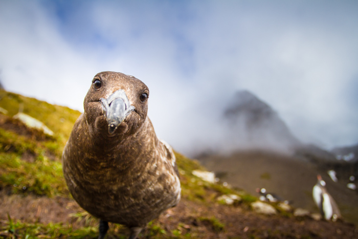Curious Skua on South Georgia