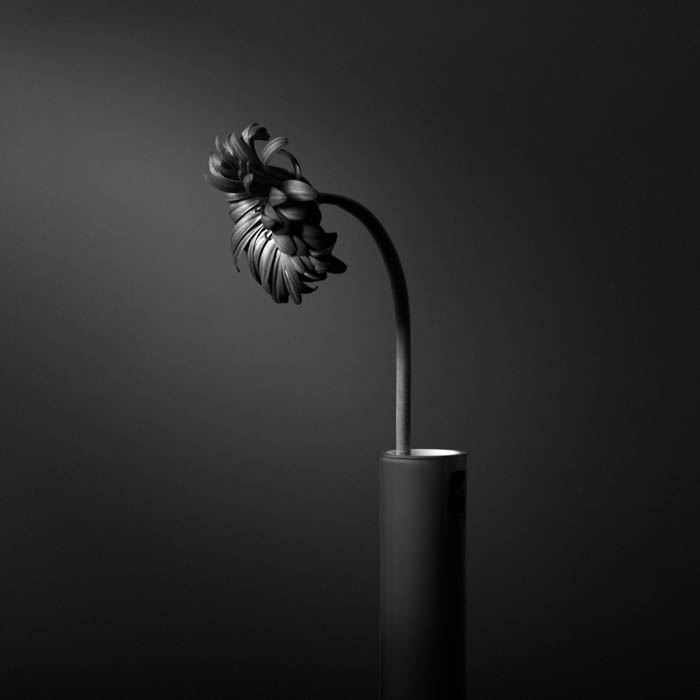 An image of a flower in black and white, as part of still life photography
