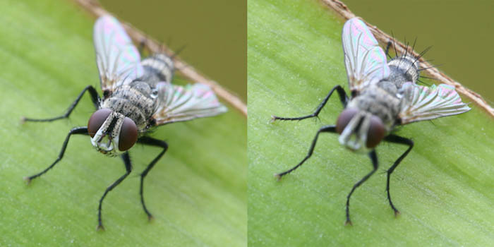 Using a fly to show an example of image stacking in post-processing