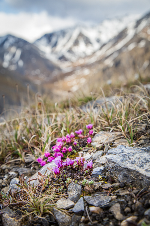 Pink wild flower in the foreground with blurred snow-capped mountains in the background